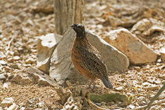 Masked form of Northern Bobwhite, Colinus virginianus, in desert Royalty Free Stock Images