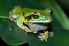 Masked frog or masked rock frog Litoria personata Stock Image