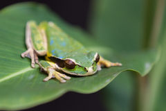 Masked frog or masked rock frog Litoria personata Stock Photos