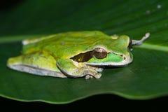 Masked frog or masked rock frog Litoria personata Royalty Free Stock Image