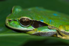 Masked frog or masked rock frog Litoria personata Stock Photo
