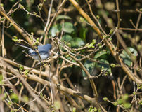 Masked gnatcatcher, Azul-gnatcatcher (caerulea del Polioptila) Stock Image