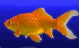 Masked goldfish. A type of goldfish called a comet on white stock photo