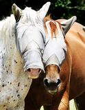 Portrait of Masked Horses. Two horses model protective see through fly masks Royalty Free Stock Images