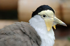 Masked Lapwing Stock Photography