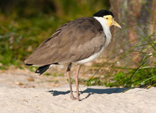 Masked lapwing Royalty Free Stock Photo