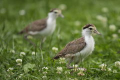 Masked lapwing Royalty Free Stock Photos