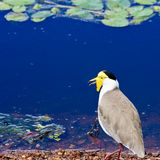 Masked Lapwing. Or plover, in Kakadu National Park, Australia Royalty Free Stock Photo