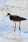 Masked lapwing on beach Royalty Free Stock Photos