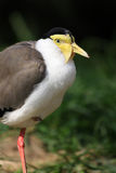 Masked Lapwing bird Royalty Free Stock Image