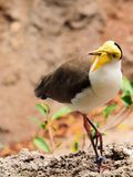 Masked Lapwing bird Royalty Free Stock Photos