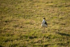 Masked Lapwing Bird Royalty Free Stock Photo
