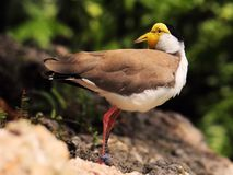 Masked Lapwing bird looking back Stock Photos
