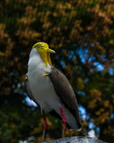Masked lapwing Stock Photo