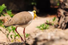 Masked Lapwing bird walking Stock Image