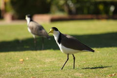 Masked Lapwing bird on lawn Stock Photography