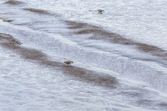 Masked lapwing foraging at low tide in the Tamar river Royalty Free Stock Photo