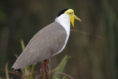 Masked lapwing, Kakadu, Australia Royalty Free Stock Photo