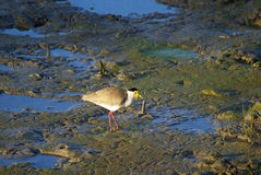 Masked lapwing on a muddy wetland Royalty Free Stock Photography