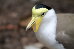 Strange bird masked lapwing or vanellus miles. Masked lapwing orvanellus miles with yellow face and eyes and flaps around beak aka spur winged plover native to Royalty Free Stock Image