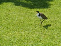 Masked lapwing in a park Stock Image