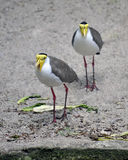 Masked Lapwing. The Masked Lapwing previously known as the Masked Plover and often called the Spur-winged Plover in its native range, is a large, common and Stock Images
