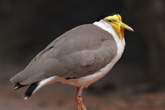 Masked lapwing - vanellus miles. Masked lapwing in Dvur Kralove zoo in Czech Republic Stock Photo