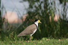 Masked Lapwing (Vanellus miles) Stock Photo