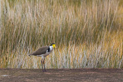 Masked lapwing Vanellus miles, also called masked plover or sp Stock Photography