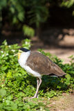 Masked lapwing (Vanellus miles) Stock Photography