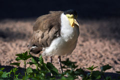 Masked lapwing (Vanellus miles) Royalty Free Stock Photography
