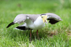 Masked lapwing, vanellus miles Royalty Free Stock Images