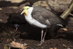 Masked lapwing, Vanellus miles, has a distinctive skin flaps in its beak Royalty Free Stock Images
