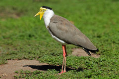 Masked lapwing Stock Photos