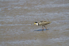 Masked Lapwing (Vanellus Miles) Royalty Free Stock Photos