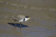 Masked Lapwing (Vanellus Miles) Stock Images