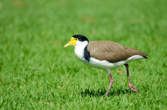 Masked Lapwing walking on Grass, Australia Royalty Free Stock Images