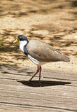 Masked lapwing walking under strong sun with harsh shadow Stock Image