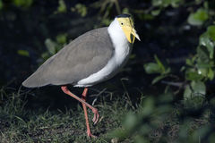 Masked Lapwings Vanellus miles Royalty Free Stock Image