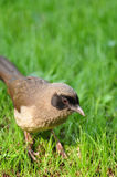 Masked Laughing Thrush. On the grasses Royalty Free Stock Image