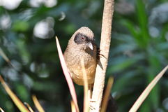 Masked Laughing Thrush. On the tree Stock Photos