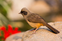 Masked Laughingthrush. (Garrulax perspicillatus) standing on stone stock photography