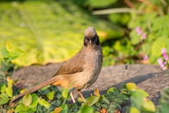Masked Laughingthrush. (Garrulax perspicillatus) standing on stone Royalty Free Stock Images