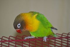 Masked lovebird or Agapornis personatus. Sitting on the cage Stock Photo