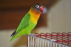 Masked lovebird or Agapornis personatus. Sitting on the cage Stock Photos