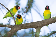 Masked Lovebirds (Agapornis personatus) Tarangire, Tanzania. Three Masked Lovebirds (Agapornis personatus) Tarangire, Tanzania Royalty Free Stock Photo