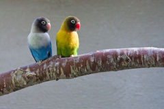 Masked Lovebirds on branch (looking right). Masked Lovebirds sitting on tree branch, looking right Royalty Free Stock Photography