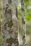 Masked mossy leaf-tailed gecko Stock Photos
