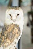 Masked owl. Stock Images
