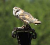 Masked Owl Stock Images